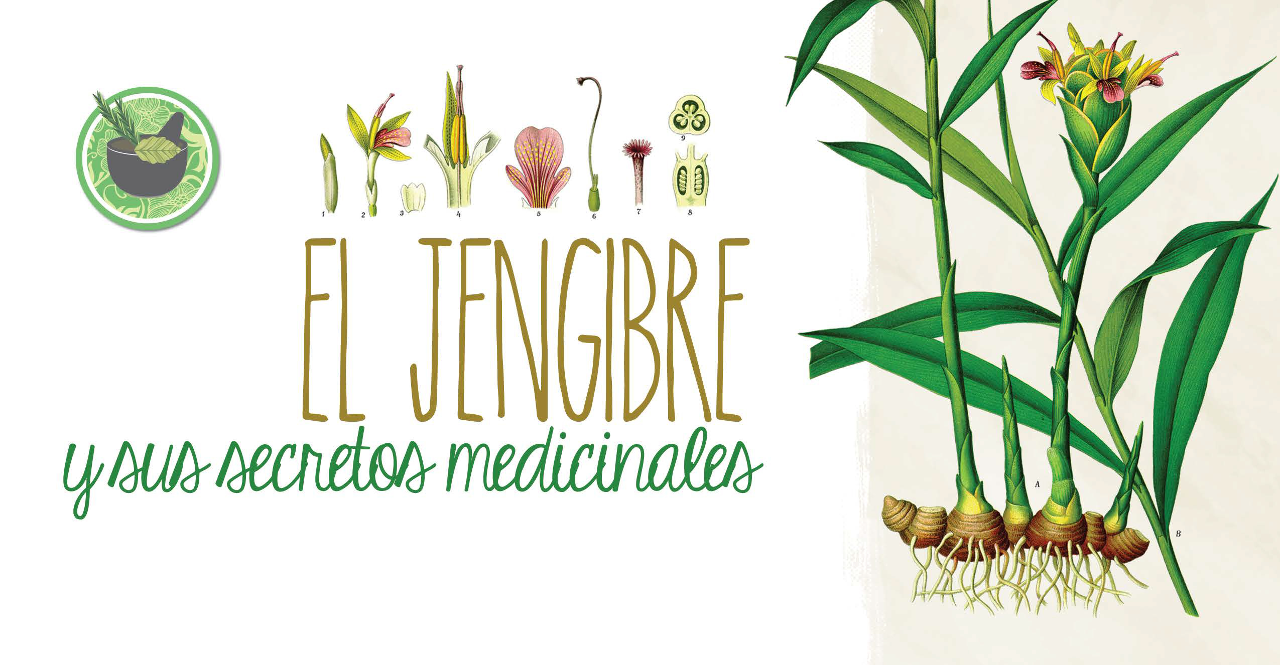 El Jengibre *y sus secretos medicinales*
